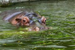 Hippopotame ordinaire dans l'eau de la piscine de la voli?re de zoo L'hippopotame herbivore africain de mammif?res aquatiques d?p photos stock