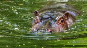 Hippopotame ordinaire dans l'eau de la piscine de la voli?re de zoo L'hippopotame herbivore africain de mammif?res aquatiques d?p photographie stock