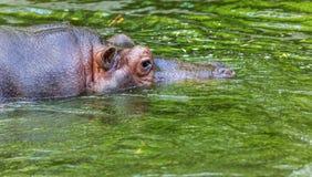 Hippopotame ordinaire dans l'eau de la piscine de la voli?re de zoo L'hippopotame herbivore africain de mammif?res aquatiques d?p photos libres de droits