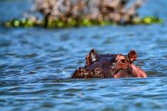 Hippopotame ou amphibius étroit d'hippopotame dans l'eau Photographie stock libre de droits