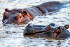 Hippopotame ou amphibius étroit d'hippopotame dans l'eau Image stock
