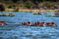Hippopotame ou amphibius étroit d'hippopotame dans l'eau Photo libre de droits