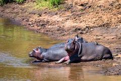 Hippopotame ou amphibius étroit d'hippopotame par l'eau Photographie stock
