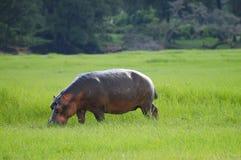 Hippopotame - parc national de Chobe - le Botswana image stock
