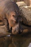 Hippopotame potable photographie stock libre de droits