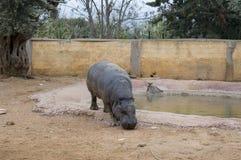 Hippopotame pygméen Image stock