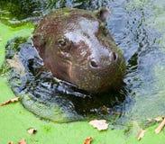 Hippopotame pygméen Photo libre de droits