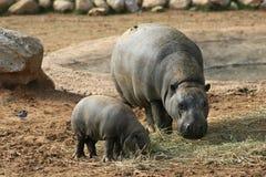 Hippopotame pygméen avec la chéri Image libre de droits