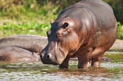Hippopotame sauvage Image libre de droits