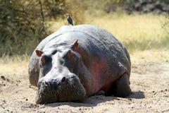 Hippopotame sauvage photo stock