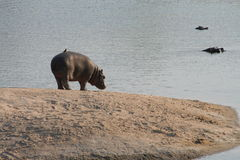 Hippopotame sur l'île Images libres de droits