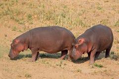 Hippopotame sur la terre Photo libre de droits