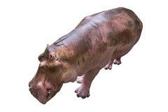 Hippopotame sur le fond blanc Image stock