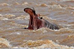 Hippopotame très étroit du photographe dans le bel habitat de nature Image stock