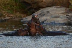 Hippopotame très étroit du photographe dans le bel habitat de nature Photo libre de droits