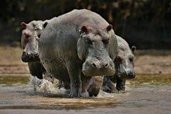 Hippopotame très étroit du photographe dans le bel habitat de nature Photos libres de droits