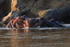 Hippopotame très étroit du photographe dans le bel habitat de nature Images stock