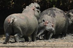 Hippopotame très étroit du photographe dans le bel habitat de nature Photo stock