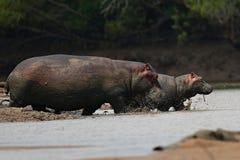 Hippopotame très étroit du photographe dans le bel habitat de nature Photographie stock