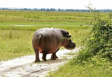 Hippopotame wallking loin images libres de droits