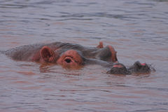Hippopotame wallowing Photos stock