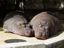 Hippopotames Image libre de droits