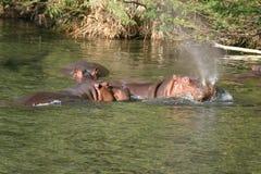 Hippopotames images libres de droits