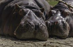 hippopotames Photographie stock