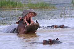 Hippopotames africains sauvages Photo libre de droits