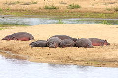 Hippopotames africains sauvages Photographie stock libre de droits