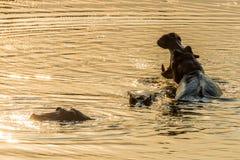 Hippopotames au coucher du soleil Photographie stock