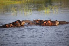 Hippopotames au Zimbabwe, la rivière Zambesi Hippopotame Photo libre de droits