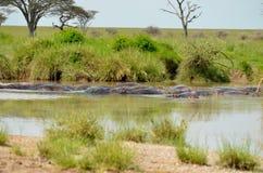 Hippopotames avec des oiseaux Photos stock
