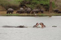 Hippopotames combattant dans la piscine image stock