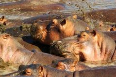 Hippopotames dans l'étang Photo stock