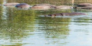 Hippopotames dans l'eau Photos libres de droits