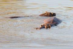 Hippopotames dans l'eau, parc national de Kruger Image libre de droits