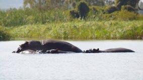 Hippopotames dans le lac africain image stock