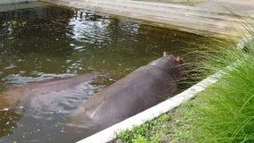 Hippopotames dans le zoo de Budapest banque de vidéos