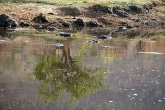 Hippopotames dans un étang Photo libre de droits