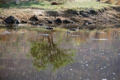 Hippopotames dans un étang Photographie stock libre de droits