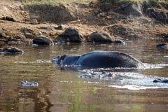Hippopotames dans un étang Photos stock