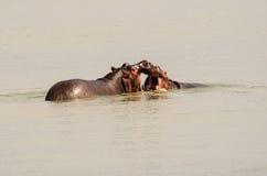 Hippopotames dans un combat Photographie stock