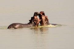 Hippopotames dans un double Photos libres de droits