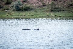 Hippopotames dans un waterdam dans Welgevonden photo libre de droits