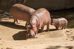 Hippopotames de famille Image stock