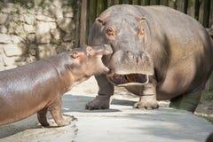 Hippopotames drôles Images libres de droits