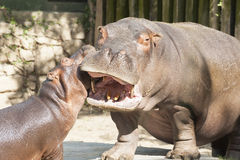 Hippopotames drôles Photos stock