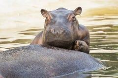 Hippopotames drôles Image libre de droits