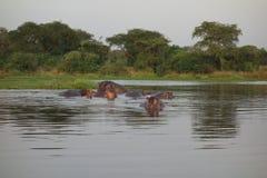 Hippopotames en rivière le Nil Image libre de droits